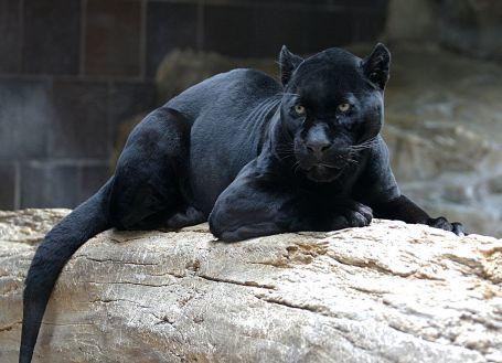 1200px-Jaguar